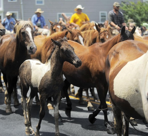 Ponies parade through town on their way to the carnival grounds where they were to be auctioned off the following day. (Erin Kirkland/Baltimore Sun)