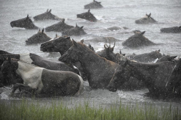 Ponies swim to shore during the annual Chincoteague Pony Swim. (Erin Kirkland/Baltimore Sun)