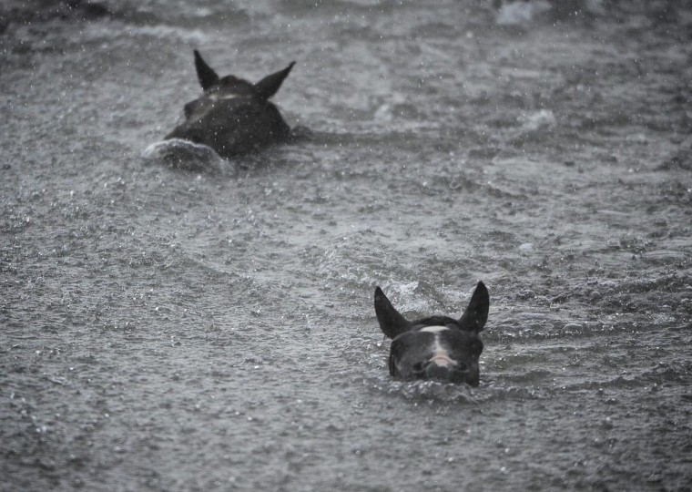 Despite the sudden change in weather, ponies swim to shore during the annual Chincoteague Pony Swim. (Erin Kirkland/Baltimore Sun)
