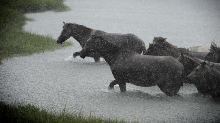 The first ponies ashore make their way to the grasslands. (Erin Kirkland/Baltimore Sun)