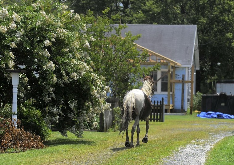A loose pony escapes the herd and makes a dash for a backyard. (Erin Kirkland/Baltimore Sun)