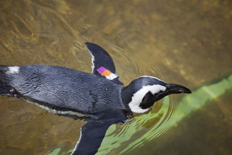 African Penguins at the Maryland Zoo. (Credit: Scott Bradley)