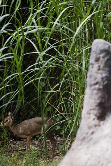 A Dik-dik at the Maryland Zoo. (Credit: Scott Bradley)