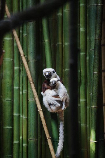 A Coquerel's sifaka at the Maryland Zoo. (Credit: Scott Bradley)