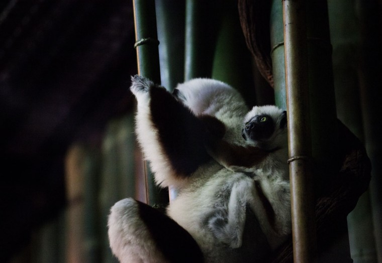 Max the Coquerel's sifaka, with his mother at the Maryland Zoo. (Credit: Scott Bradley)