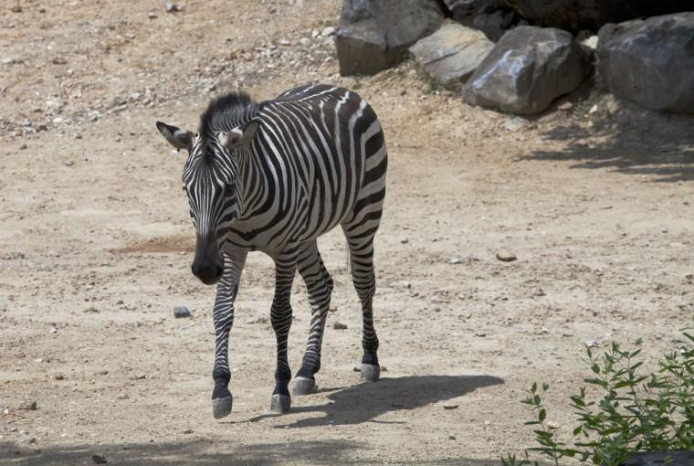 A zebra at the Maryland Zoo. (Credit: Scott Bradley)