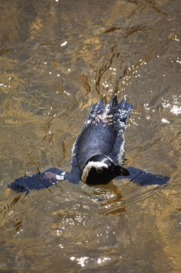 An African Penguin at the Maryland Zoo. (Credit: Scott Bradley)