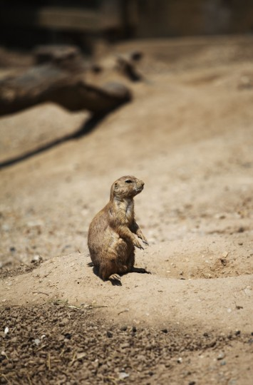 A prairie dog stands on its hind legs at the Maryland Zoo. (Credit: Scott Bradley)