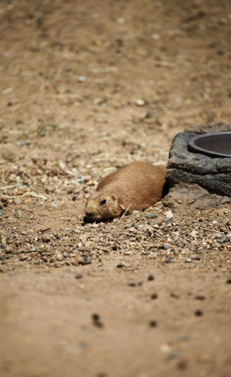 A prairie dog hunches down at the Maryland Zoo. (Credit: Scott Bradley)