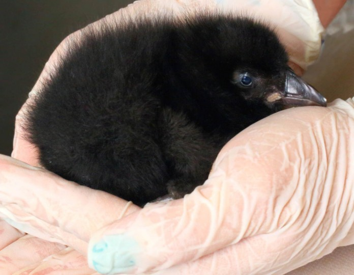 A female puffin chick, which was born at the National Aquarium July 4. (Credit: Handout photo courtesy of the National Aquarium)