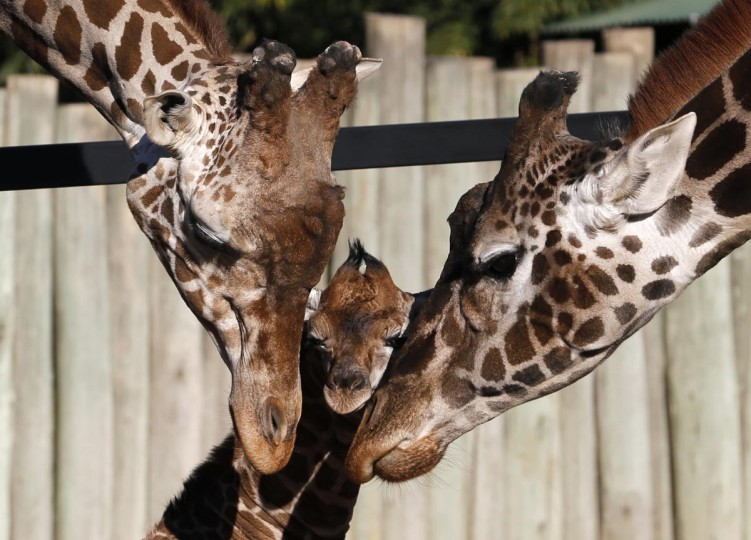 Six-day-old newly born giraffe calf (C) is seen next to its parents six-year-old father Buddy (L) and eleven-year old mother Jacky at their enclosure in Buenos Aires' zoo July 16, 2013. The baby giraffe was 3.2 feet tall and weighed 187 pounds when it was born. The zoo launched a contest amongst children to find a name for it. (Enrique Marcarian/Reuters)