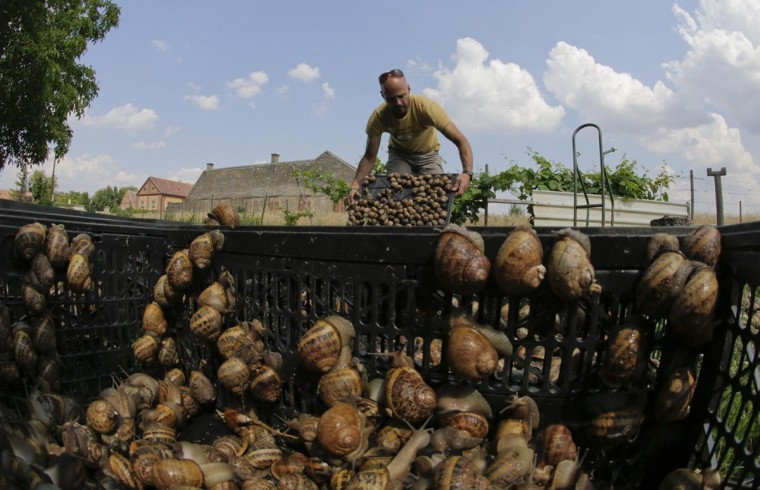 Austrian snail farmer Andreas Gugumuck collects snails (Helix Aspersa) in baskets in his farm in Vienna July 10, 2013. (Leonhard Foeger/Reuters)