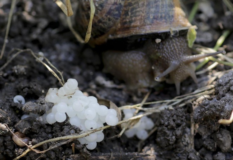A snail (Helix Aspersa) sits next to her eggs in a farm in Vienna July 10, 2013. Andreas Gugumuck owns Vienna's largest snail farm, exporting snails, snail caviar and snail liver all over the world. (Leonhard Foeger/Reuters)