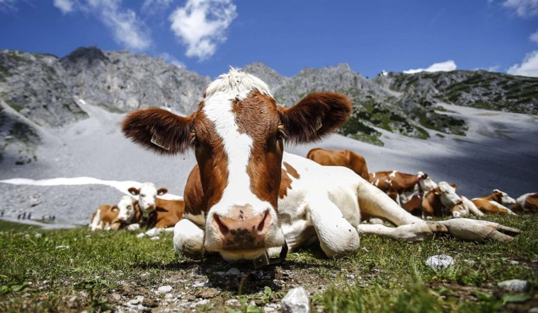 Cows lie in grass in front of Hafelekar mountain on a hot summer day in Innsbruck July 25, 2013. (Dominic Ebenbichler/Reuters)
