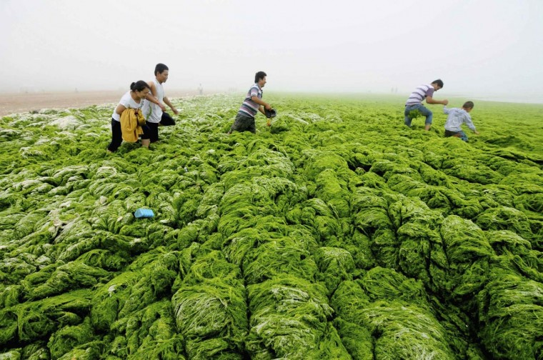 People walk through algae-covered seaside in Qingdao, Shandong province, July 1, 2013. (China Daily/Reuters)