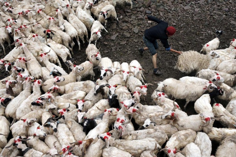 A herdsman catches a goat to shear at the foot of Qilian Mountain, Qinghai province July 13, 2013. (Rooney Chen/Reuters)