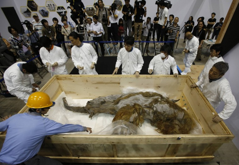 A 39,000-year-old female Woolly mammoth, which was found frozen in Siberia, Russia is seen upon its arrival at an exhibition hall in Yokohama, south of Tokyo. The mammoth will be on display from July 13, 2013 till September 16, 2013. (Toru Hanai/Reuters)