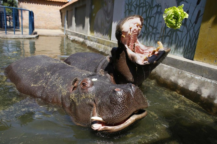 A hippopotamus catches a lettuce with its mouth in Belgrade's zoo July 29, 2013. Temperatures in Serbia have risen up to 40 degrees Celsius (104 degrees Fahrenheit), according to official meteorological data. (Marko Djurica/Reuters)