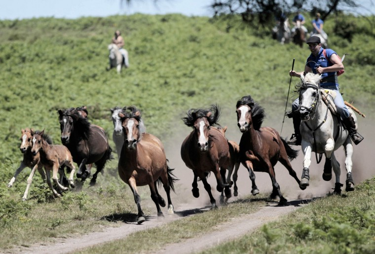 Horses gallop as they are rounded up during the Rapa das Bestas traditional event in the Spanish northwestern village of Sabucedo. On the first weekend of the month of July, hundreds of wild horses are rounded up, trimmed and groomed in different villages in the Spanish northwestern region of Galicia. (Miguel Vidal/Reuters photo)