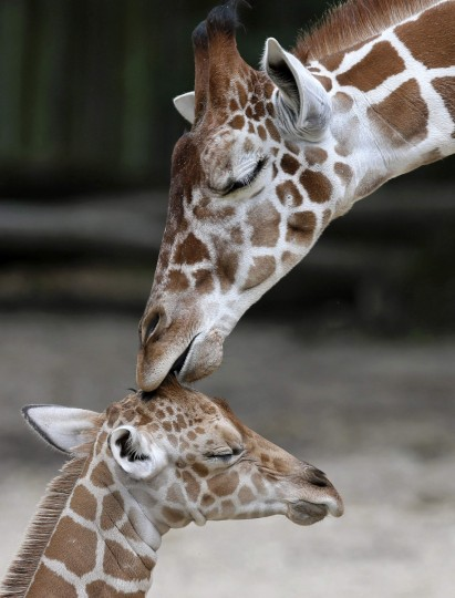 An unnamed new born male giraffe is seen with his half-brother, Dave, at the Brookfield Zoo near Chicago, Illinois. The calf was born on June 21, and is the 59th giraffe born at the zoo. (Jim Young/Reuters)