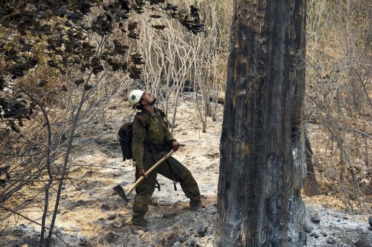 U.S. Forest Service firefighter Juan Rodriguez checks the stability of a burned out tree at the Rim Fire in the Stanislaus National Forest in California, Tuesday August 20, 2013. (Andy Alfaro/Modesto Bee/MCT)