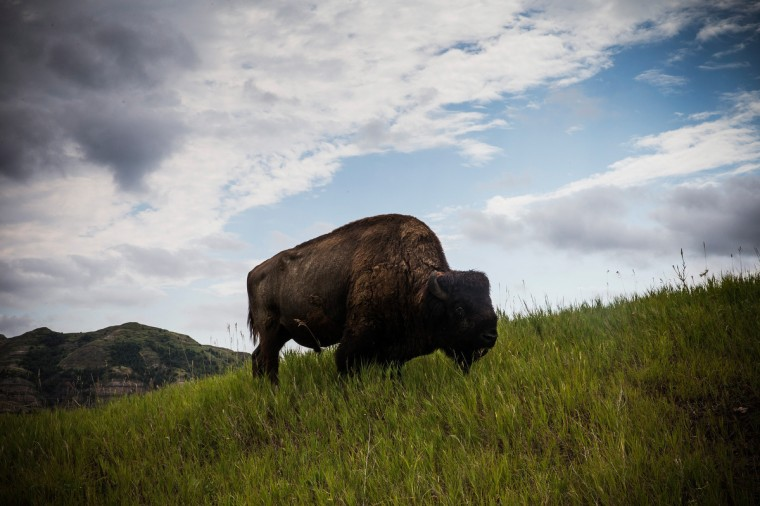 A bison is seen in Theodore Roosevelt National Park outside Watford City, North Dakota. North Dakota has been experiencing an oil boom in recent years, due in part to new drilling techniques including hydraulic fracturing and horizontal drilling. In April 2013, The United States Geological Survey released a new study estimating the Bakken formation and surrounding oil fields could yield up to 7.4 billion barrels of oil, doubling their estimate of 2008, which was stated at 3.65 billion barrels of oil. (Andrew Burton/Getty Images)