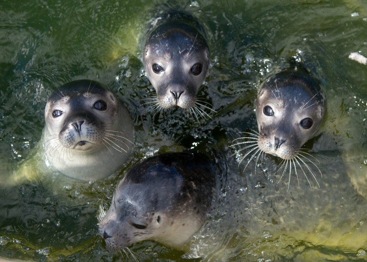 Young seals swim at the Seehundstation Norddeich in Germany. The Seehundstation Norddeich is a facility for raising young seals who were separated from their mothers due to storms, disease or human disturbance and who would otherwise have little chance of survival. Volunteers collect about 90 young seals a year from the North Sea German coast and care for the pups until they weigh about 25 kg before releasing them back into the wild. Sponsors pay for the costs of caring for the seals and get to name them. (David Hecker/Getty Images)