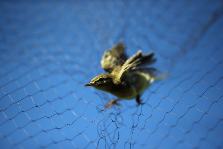 A warbler hangs in a mist net on a private reserve in East Sussex on in Rye, United Kingdom. The BTO are currently in the process of recording migrating hirnundines and other birds at the reserve. Hirundines comprise of Sand Martins, House Martins and Swallows, all of which roost in high numbers on the reserve over summer before continuing their migratory route back to Africa. (Dan Kitwood/Getty Images)