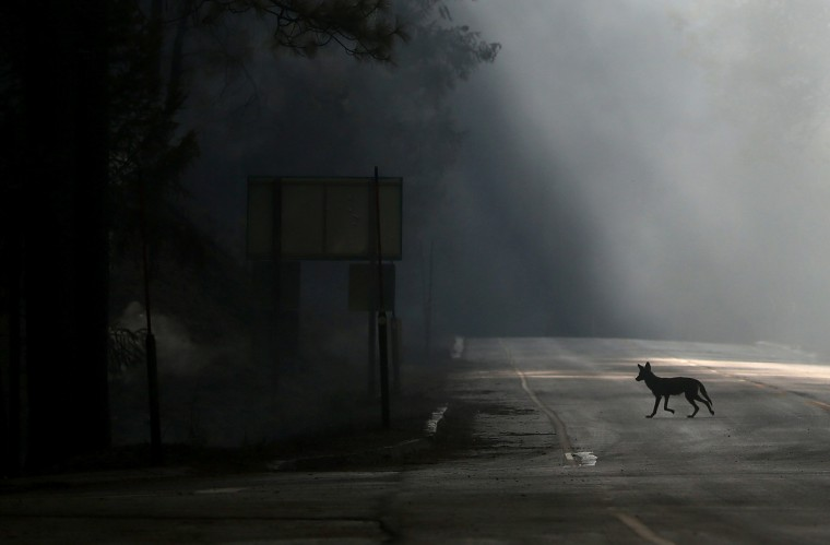 A coyote walks across U.S. Highway 120, shut down due to the Rim Fire on August 23, 2013 near Groveland, California. (Justin Sullivan/Getty Images)