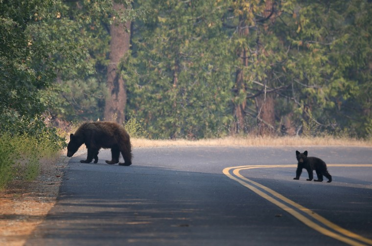 A bear and cub cross a road near the Rim Fire on August 24, 2013 in Yosemite National Park, California. (Justin Sullivan/Getty Images)