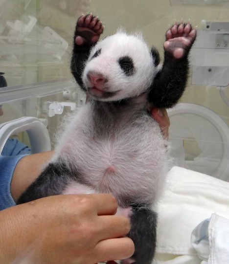 Taipei City Zoo staff stimulates their newly born panda cub at the zoo in Taipei. The public will have to wait three months to catch a glimpse of the first panda born in Taiwan, officials said in July, after she was successfully delivered by parents who were gifted from China. (Getty Images)