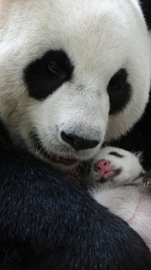 This handout photograph released by the Taipei City Zoo on August 15, 2013 shows giant panda Yuan Yuan hugging her baby while sleeping at the Taipei Zoo. Taiwan's first new-born panda stayed overnight for the first time with her doting mother, zoo-keepers said on August 15, 2013, following a heartwarming reunion that took place in the international limelight. (Taipei Zoo/via Getty Images)