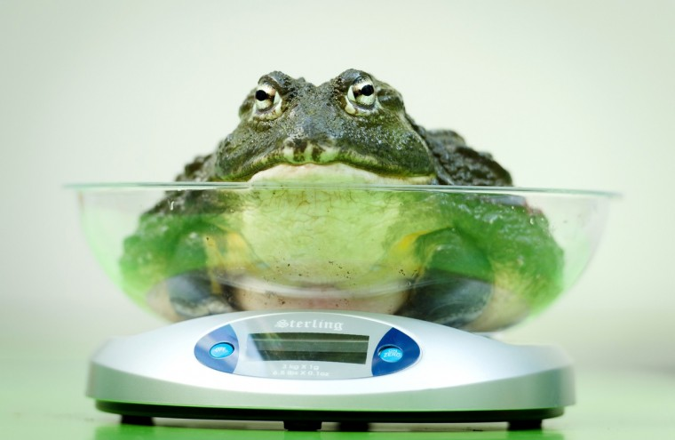 An African Bullfrog is placed on a weighing scale during the London Zoo's annual weigh-in in London. The task involves weighing and measuring the population of the zoo, before the information is shared with zoos across the world, allowing them to compare data on thousands of endangered species. (Leon Neal/Getty Images)