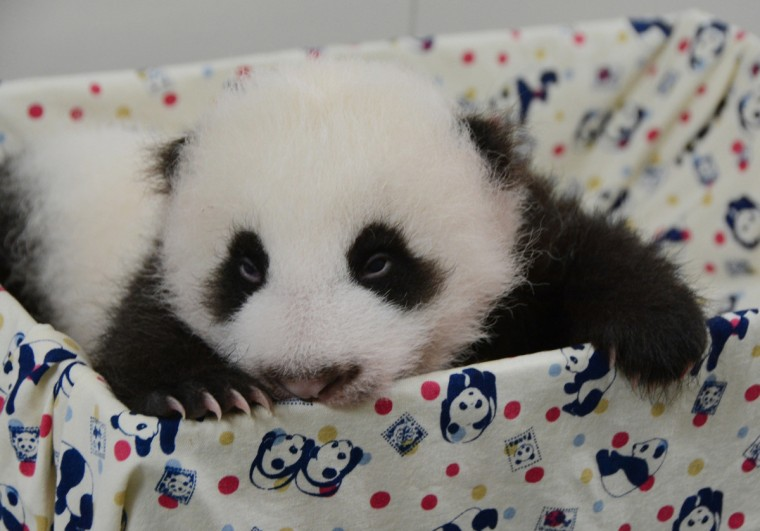 A panda cub opens her eyes at the Taipei City Zoo. The cub, the first panda born in Taiwan, was delivered on July 7 following a series of artificial insemination sessions after her parents -- Yuan Yuan and her partner Tuan Tuan -- failed to conceive naturally. (Taipei City Zoo/Getty Images)