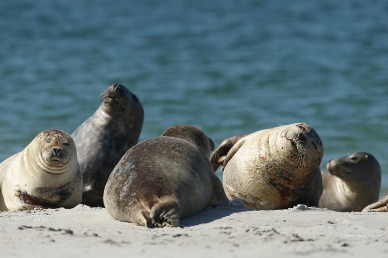 Atlantic grey seals bask in hot weather on a sunny day on the south beach of Duene Island on August 4, 2013 near Helgoland, Germany. Duene Island was once an extension of neighboring Heligoland Island until a storm in 1721 severed the connection. (Sean Gallup/Getty Images)