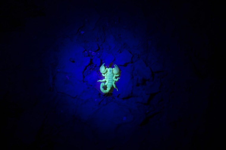 A Yellow scorpion glows in the dark on August 5, 2013 near Sde Boker in the Negev Desert, Israel. The Negev is second on a list of the world's top ten regional travel destinations for 2013. (Uriel Sinai/Getty Images)