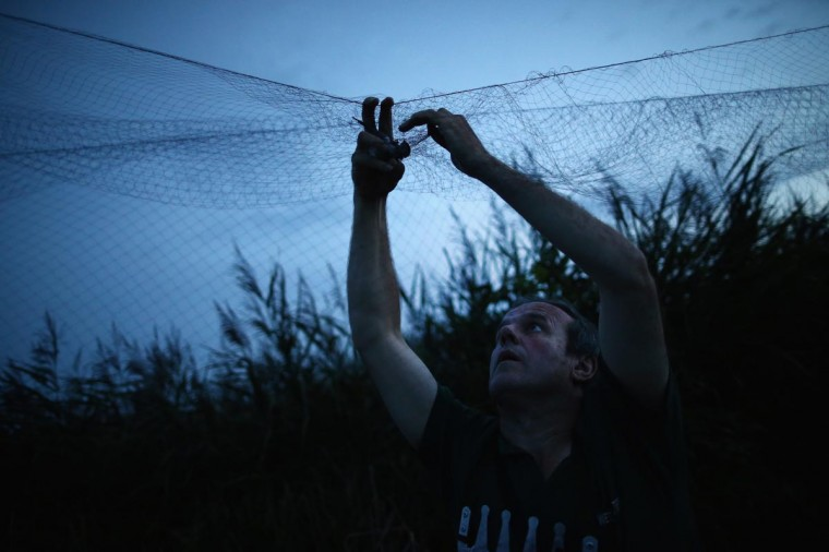 A BTO bird ringer collects hirundines from a mist net as they come in to roost on a private reserve in East Sussex on August 21, 2013 in Rye, United Kingdom. (Dan Kitwood/Getty Images)