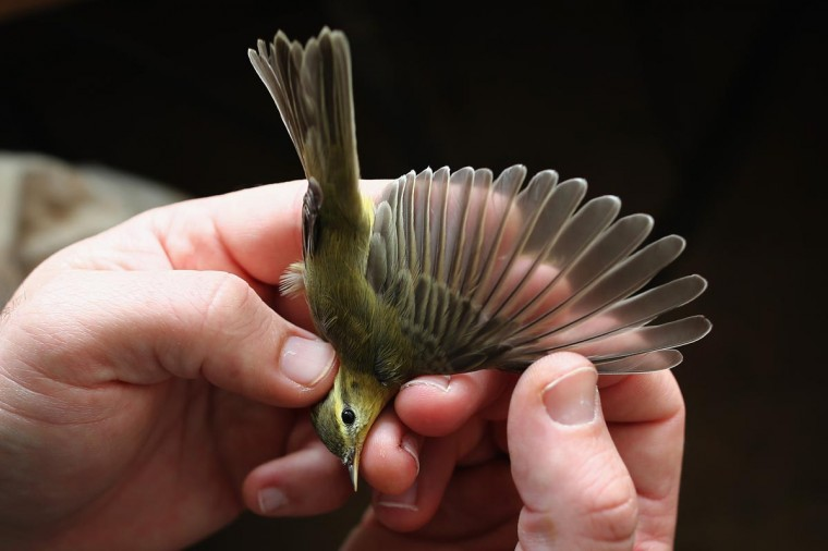 A Chiffchaff is recorded at a ringing hut on a private reserve in East Sussex on August 21, 2013 in Rye, United Kingdom. (Dan Kitwood/Getty Images)