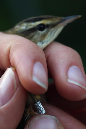 A warbler is ringed at a ringing hut on a private reserve in East Sussex on August 21, 2013 in Rye, United Kingdom. (Dan Kitwood/Getty Images)
