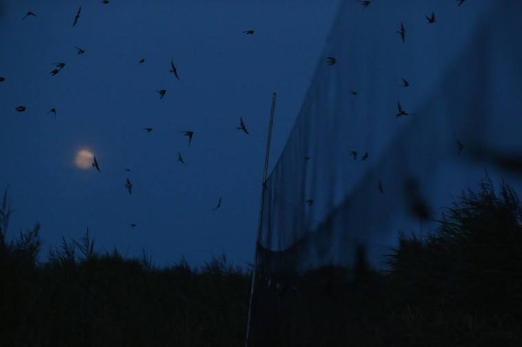Sand Martins fly over mist nets as they come in to roost on a private reserve in East Sussex on August 21, 2013 in Rye, United Kingdom. (Dan Kitwood/Getty Images)