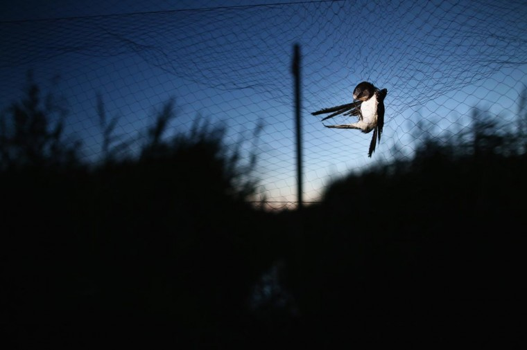 A Sand Martin is caught in a mist net as it came in to roost on a private reserve in East Sussex on August 20, 2013 in Rye, United Kingdom. (Dan Kitwood/Getty Images)