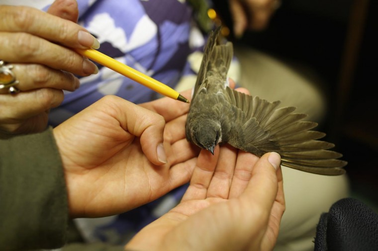 A Sand Martin is recorded at the ringing hut on a private reserve in East Sussex on August 20, 2013 in Rye, United Kingdom. (Dan Kitwood/Getty Images)