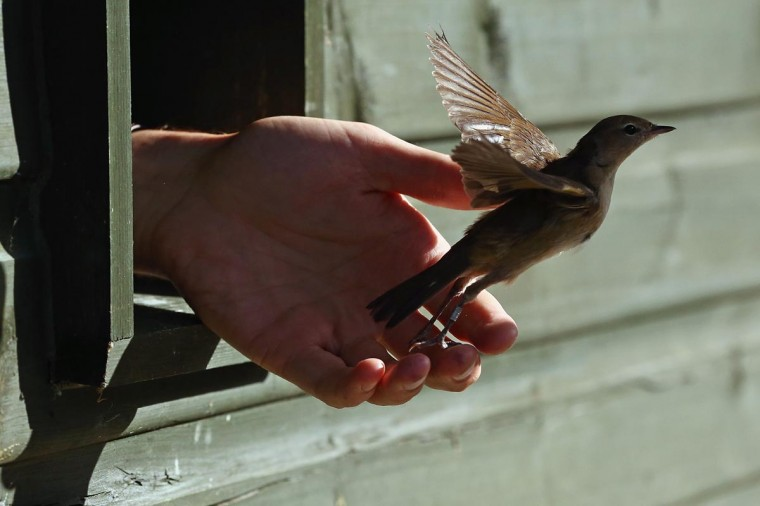 A warbler is released from the ringing hut after being recorded on a private reserve in East Sussex on August 21, 2013 in Rye, United Kingdom. (Dan Kitwood/Getty Images)