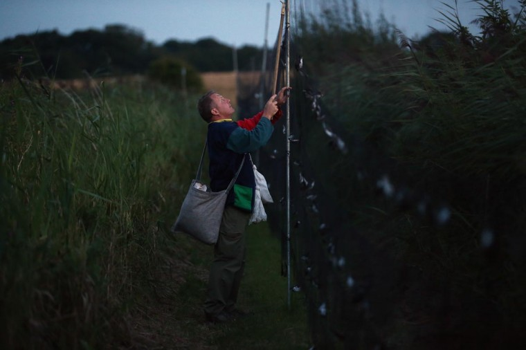 Volunteer and trained bird ringer Pete Carr collects hirundines from mist nets as they come in to roost on a private reserve in East Sussex on August 20, 2013 in Rye, United Kingdom. (Dan Kitwood/Getty Images)