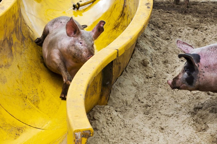 A pig uses a slide to get into the mud pool at a farm in Bathmen on August 6, 2013. Farmer Erik Stegink bought the depreciated slide from a neighboring pool to offer his pigs some fun. (Vincent Jannink/AFP/Getty Images)