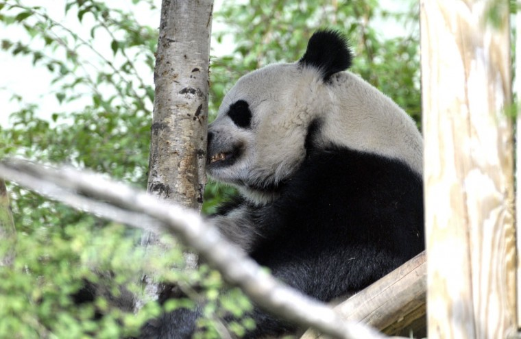 """Tian Tian (""""sweetie"""") the female Giant Panda at Edinburgh Zoo relaxes in her compound on August 9, 2013 after zoo officials revealed that they suspect the animal may be pregnant after showing deviations in her hormone levels and exhibiting behavioral changes associated with pregnancy. The zoo says it is unable to carry out an ultrasound and will not know for certain whether Tian Tian is pregnant until shortly before she gives birth, which could be as early as next month. (Andy Buchanan/AFP/Getty Images)"""