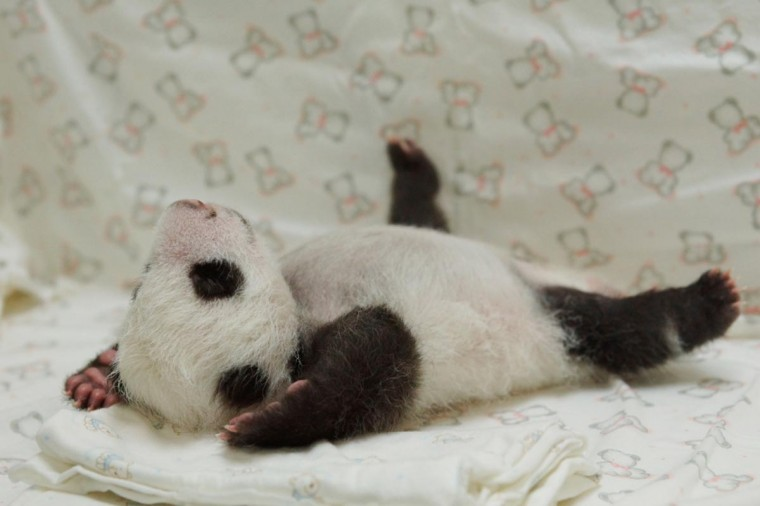 This undated handout photograph released by the Taipei City Zoo on August 11, 2013 shows a newly born panda cub at the zoo in Taipei. The public will have to wait three months to catch a glimpse of the first panda born in Taiwan, officials said in July, after she was successfully delivered by parents who were gifted from China. (Taipei City Zoo/AFP/Getty Images)