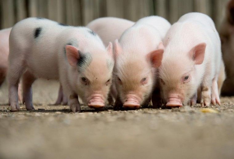 Three minipigs stand in their enclosure at the zoo in Hanover, central Germany, on August 13, 2013. Minipig mother Marianne gave birth to ten baby minipigs on July 20, 2013 at the zoo. (Jochen Luebke/AFP/Getty Images)
