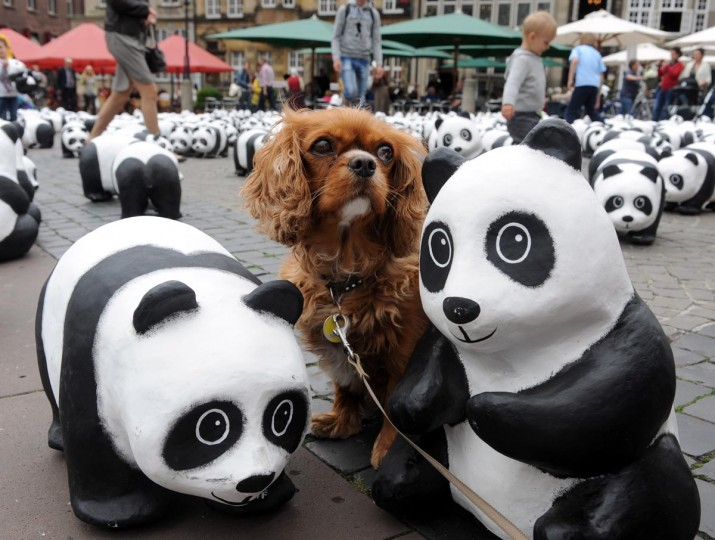 A dog stands between Panda figures on a market place in Bremen, northern Germany, on August 20, 2013. The environmental organization WWF Germany (World Wildlife Fund) wants to draw attention to the shrinking number of just 1600 animals left of this endangered specie. (Ingo Wagner/AFP/Getty Images)