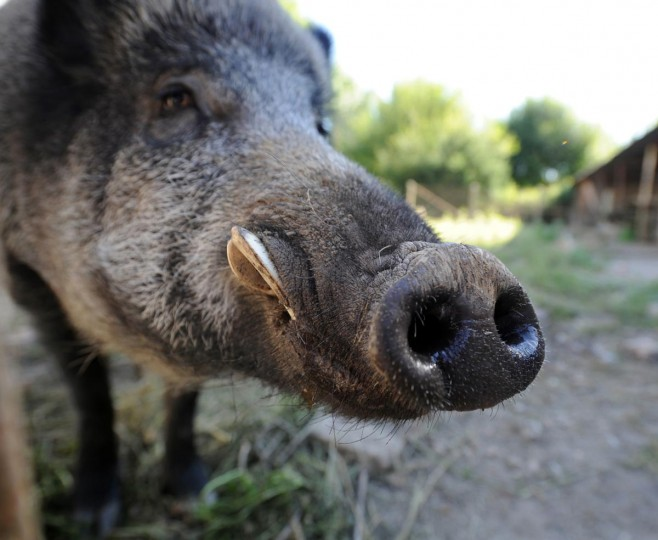 """A boar named Reno is pictured on August 27, 2013 in Limoges, central France. The Prefect of Haute-Vienne recently authorized the detention by a couple of a pet boar Reno. The boar was named after French actor Jean Reno and raised """"like a dog."""" (Pascal Lachenaud/AFP/Getty Images)"""